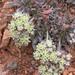 Eriogonum villiflorum - Photo (c) Andrey Zharkikh, alguns direitos reservados (CC BY)