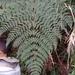 Dryopteris paleolata - Photo (c) 佩芬,  זכויות יוצרים חלקיות (CC BY-NC)