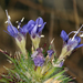 Navarretia jepsonii - Photo (c) matsonburger, algunos derechos reservados (CC BY-NC)
