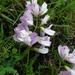 Vicia sylvatica - Photo (c) Sam Thomas, algunos derechos reservados (CC BY-NC-SA)