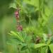 Lathyrus niger - Photo (c) Wildlife Travel, algunos derechos reservados (CC BY-NC)