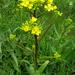 Warty-Cabbage - Photo (c) Kari Pihlaviita, some rights reserved (CC BY-NC)