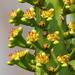 Euphorbia neriifolia - Photo (c) 葉子, osa oikeuksista pidätetään (CC BY-NC-ND)