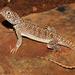 Ctenophorus nuchalis - Photo (c) Travis W. Reeder, algunos derechos reservados (CC BY-NC)