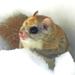 Glaucomys sabrinus - Photo (c) Charlotte Bill, μερικά δικαιώματα διατηρούνται (CC BY-NC)