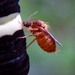 Biting Midges - Photo (c) Kenneth Lorenzen, some rights reserved (CC BY-NC)