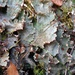 Ruffled Freckled Pelt Lichen - Photo (c) Tomás Curtis, some rights reserved (CC BY-NC)