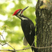 Pileated Woodpecker - Photo (c) Scott Young, some rights reserved (CC BY-NC)