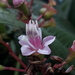 Tococa guianensis - Photo (c) Giovanny Stiven Castro, algunos derechos reservados (CC BY-NC)