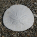 Eccentric Sand Dollar - Photo (c) Lauren Glevanik, some rights reserved (CC BY-NC)