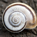Eastern Heath Snail - Photo (c) Samuel Brinker, some rights reserved (CC BY-NC)