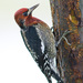 Red-breasted Sapsucker - Photo (c) Doug Greenberg, some rights reserved (CC BY-NC-ND)