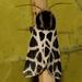 Cymbalophora pudica - Photo (c) Ferran Turmo Gort, μερικά δικαιώματα διατηρούνται (CC BY-NC-SA)