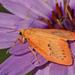 Miltochrista miniata - Photo (c) nutmeg66, algunos derechos reservados (CC BY-NC-ND)