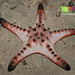 Cushion Stars and Allies - Photo (c) Ria Tan, some rights reserved (CC BY-NC-SA)