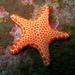 Valvatidan Sea Stars - Photo (c) Richard Ling, some rights reserved (CC BY-NC-SA)