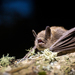 Little Brown Bat - Photo (c) Jason Headley, some rights reserved (CC BY-NC)