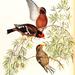 Callacanthis burtoni - Photo John Gould, sin restricciones conocidas de derechos (dominio público)