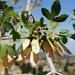 Acer monspessulanum microphyllum - Photo (c) Akkar Trail, μερικά δικαιώματα διατηρούνται (CC BY-NC)