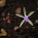 Nervilia simplex - Photo (c) Dinesh Valke, algunos derechos reservados (CC BY-SA)