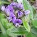 Otholobium sericeum - Photo (c) Sally Adam,  זכויות יוצרים חלקיות (CC BY-NC)