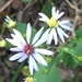 Symphyotrichum drummondii - Photo (c) Kathy Cox,  זכויות יוצרים חלקיות (CC BY-NC)