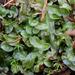 Pallaviciniaceae - Photo (c) Mary Keim, algunos derechos reservados (CC BY-NC-SA)