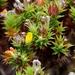 Aspalathus cordata - Photo (c) Tony Rebelo, algunos derechos reservados (CC BY-SA)