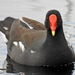 African Common Moorhen - Photo (c) Colin Ralston, some rights reserved (CC BY-NC)