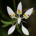 Cliff Saxifrage - Photo (c) cotinis, some rights reserved (CC BY-NC-SA)