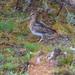 Gallinago andina - Photo (c) thibaudaronson, μερικά δικαιώματα διατηρούνται (CC BY-SA)