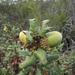 Quercus durata - Photo (c) randomtruth, μερικά δικαιώματα διατηρούνται (CC BY-NC-SA)