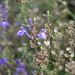 Scutellaria havanensis - Photo (c) scott.zona, alguns direitos reservados (CC BY-NC)