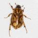 Cyclocephala - Photo (c) BJ Stacey,  זכויות יוצרים חלקיות (CC BY-NC)