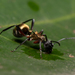 Polyrhachis rufifemur - Photo (c) Nigel Main, algunos derechos reservados (CC BY)