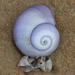 Violet Sea Snail - Photo (c) tangatawhenua, some rights reserved (CC BY-NC)