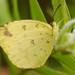 Eurema floricola - Photo (c) Benoit NABHOLZ, alguns direitos reservados (CC BY-NC)