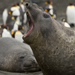 Elefante-Marinho-Do-Sul - Photo (c) daver, alguns direitos reservados (CC BY-NC)