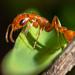 Hormigas Cosechadoras - Photo (c) Craig Chaddock, algunos derechos reservados (CC BY-NC)