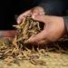 Ophiocordyceps sinensis - Photo (c) Rosino, algunos derechos reservados (CC BY-NC-SA)