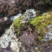 Syntrichia antarctica - Photo (c) shannontroy, μερικά δικαιώματα διατηρούνται (CC BY-NC)