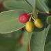 Thymelaeaceae - Photo (c) portioid, alguns direitos reservados (CC BY-SA)