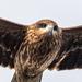 Milvus migrans lineatus - Photo (c) Tristan Scholze, algunos derechos reservados (CC BY-NC)