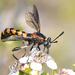 Diochlistus paragracilis - Photo (c) Jean Hort, algunos derechos reservados (CC BY-NC)