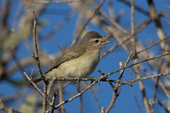 Warbling Vireo - Photo (c) Donna Pomeroy, some rights reserved (CC BY-NC)