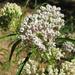Narrowleaf Milkweed - Photo (c) randomtruth, some rights reserved (CC BY-NC-SA)