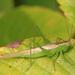 Conocephalus fasciatus - Photo (c) Judy Gallagher, algunos derechos reservados (CC BY), uploaded by Judy Gallagher