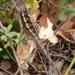Diploderma brevicauda - Photo (c) Damon Tighe, algunos derechos reservados (CC BY-NC)