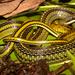 Dendrophidion bivittatus - Photo (c) Andrés Camilo Montes-Correa, algunos derechos reservados (CC BY-NC)