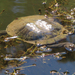 Common Snake-necked Turtle - Photo (c) deborod, some rights reserved (CC BY-NC)